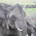 Botswana - Elefanten