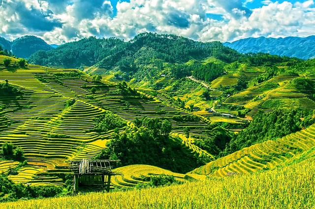 Vietnam - Reisfelder